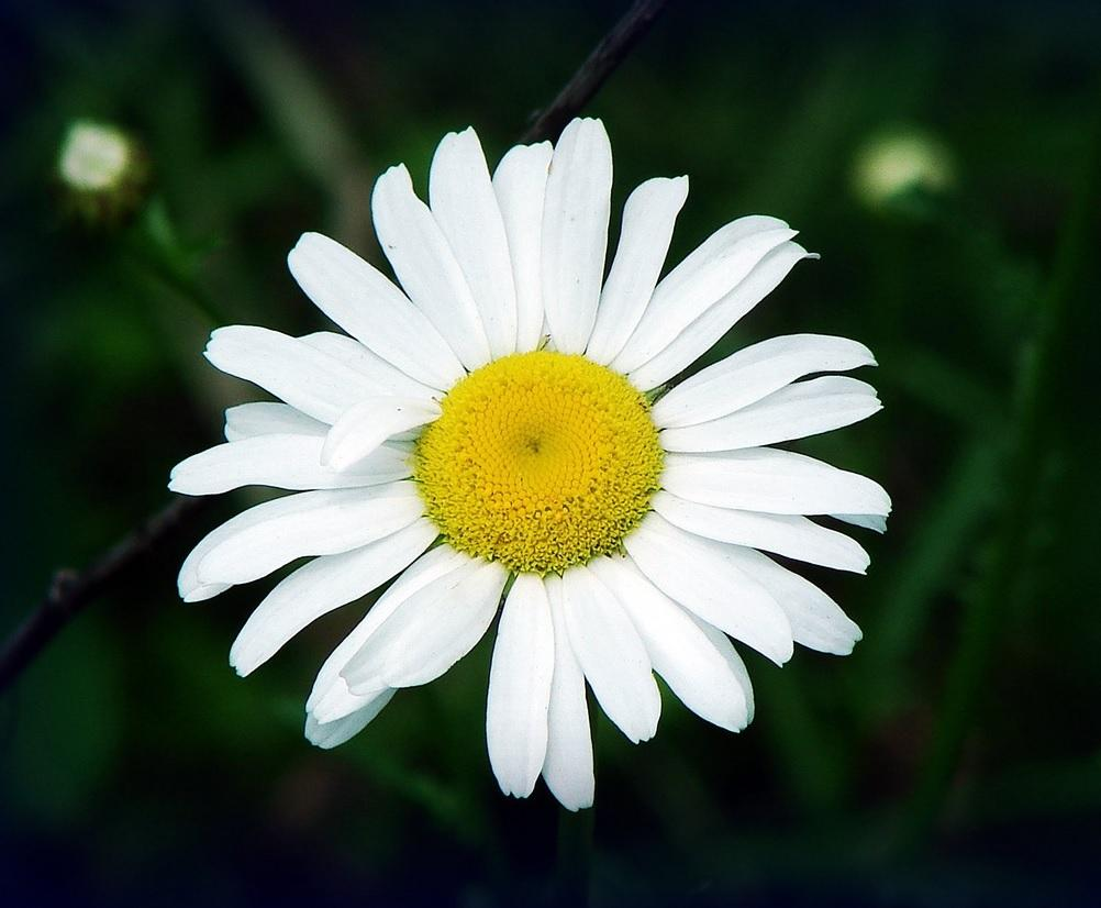 15 reasons why daisy is the most beautiful flower onedio and hundreds of poems have been written to its name to the daisy izmirmasajfo Gallery