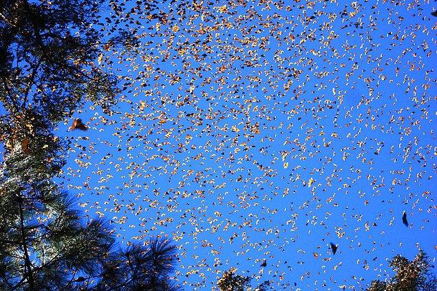 6. Kral kelebeği göçü: Yıl boyunca Kuzey Amerika, Meksika ve Kanada arasında sürekli göç halindelerdir.
