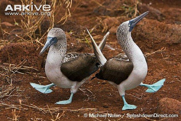 35. Mavi Ayaklı Sümsük Kuşu