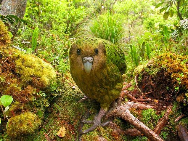 7. Kakapo