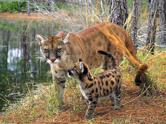 16. Florida Puması
