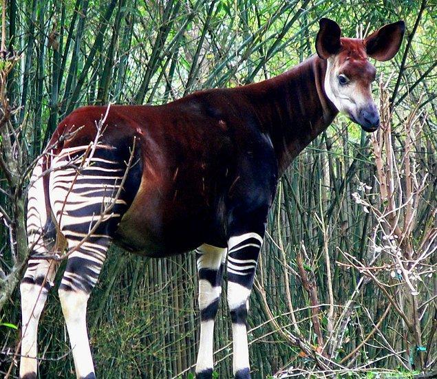 23. Okapi