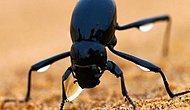 "Kuraklığa karşı ilham kaynağı ""Stenocara böceği"""