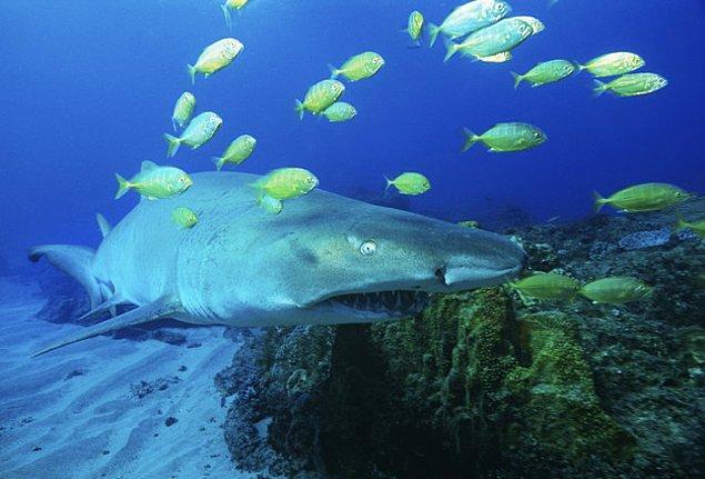 14. Kaplan köpekbalıklarının yavruları daha doğmadan anne karnında birbirleriyle savaşır ve hatta bazen birbirlerini yerler. Galip gelen doğar...
