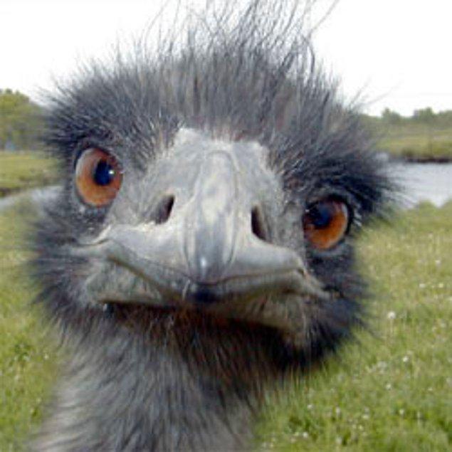Bir devekuşunun gözü beyninen büyüktür