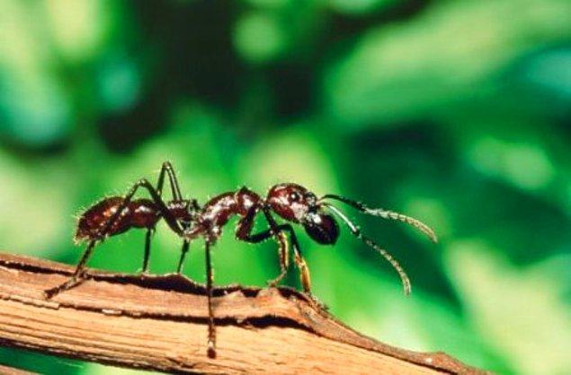 Bir karıncanın koku alma duyusu bir köpeğinki kadar gelişmiştir.