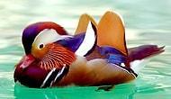 Tablodan Farksız 21 Mandarin Ördeği