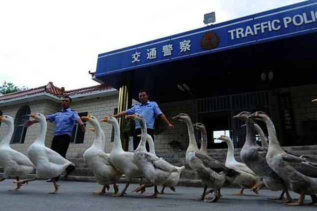 12. Çin polisi, gittikçe artan bir biçimde köpekler yerine kazları kullanıyor. Bunun sebebi de kazların agresifliği ve üstün görüş kabiliyetleri... Ya da köpeklere başka şekillerde ihtiyaç duyuyorlar. Kim bilir?