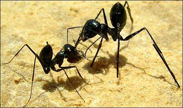 45. Karıncaları dövüştürmek.