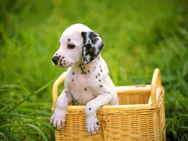 7. Dalmaçyalı cinsi köpekler doğduklarında tamamıyla beyazdırlar, siyah lekeleri sonradan oluşur.