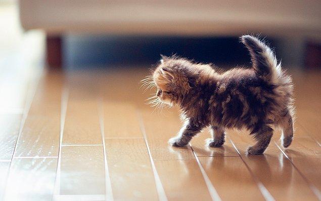 9. Kediler yüksek frekanslı sesleri duyabilirler. Kemirgenler bu sesi iletişim için kullanırlar; köpekler ve insanlar bu sesi duyamazlar.