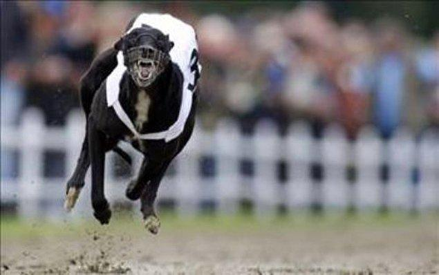 2. Greyhound (Tazı) !