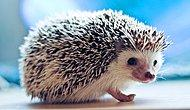 You'll Definitely Adopt A Hedgehog After Seeing These 23 Gifs