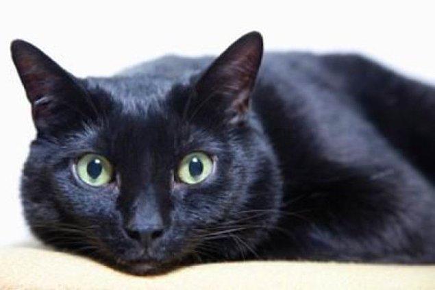 Bombay kedisinin muhteşem parlak tüyleri ve çok meşhur karakteri vardır