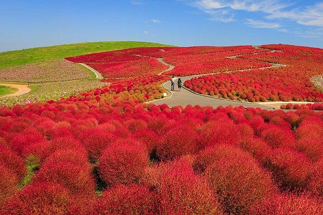 Hitachi Seaside Park in Ibaraki, Japan offers you spectacular views with colorful blooming flowers.