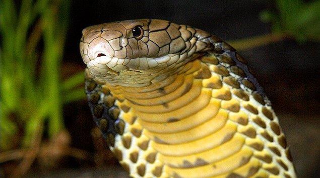 10. Kral Kobra
