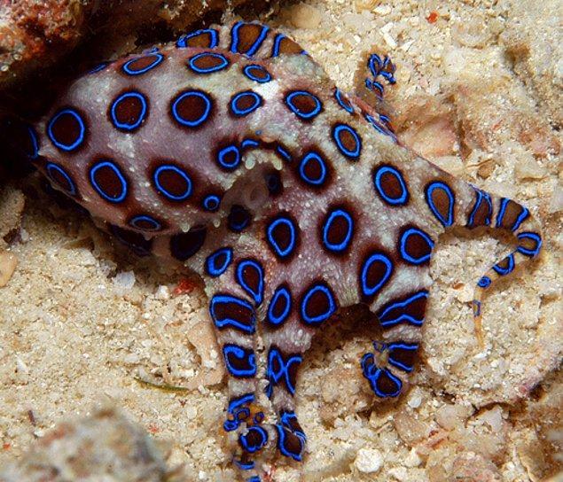 2. Blue Ringed Octopus - Mavi Halkalı Ahtapot