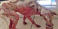 Трогательная история излечения пса, умиравшего от голода