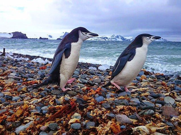 Gunnar'a göre penguenler doğal ortamın görülmesi gereken hayvanlardan, yalnızca çok iyi yüzmüyorlar aynı zamanda çok da iyi poz veriyorlar.