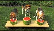 Конкурс среди собак по поеданию арбуза