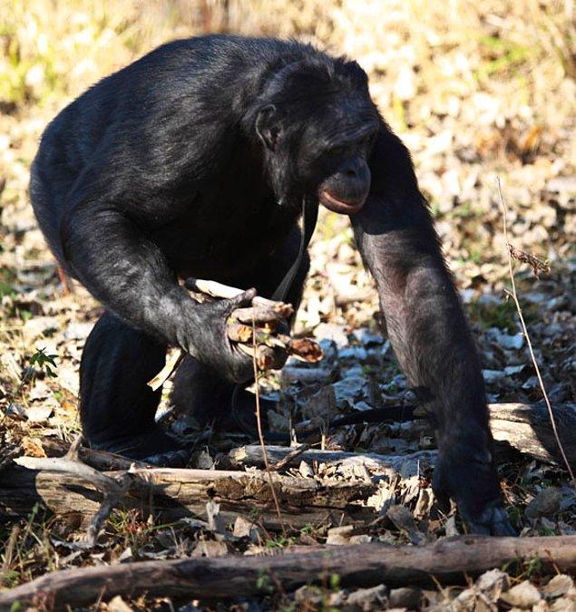 Bu maymun, kendi odununu toplayıp kırıyor, yığın haline getirdiği odunları kibrit çakıp yakıyor ve üzerinde yemeğini pişirebiliyor.