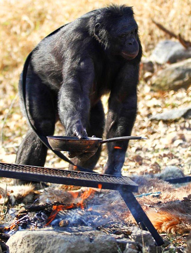 Maymunun baş eğitmeni ve bonobolarla dil araştırmasını yürüten uzman Dr. Sue Savage-Rumbaugh, Kanzi'nin kendi isteğiyle ateş yaktığını söylüyor ve ekliyor:
