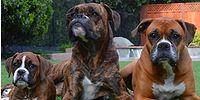 25 Good Reasons for You to Have a Boxer