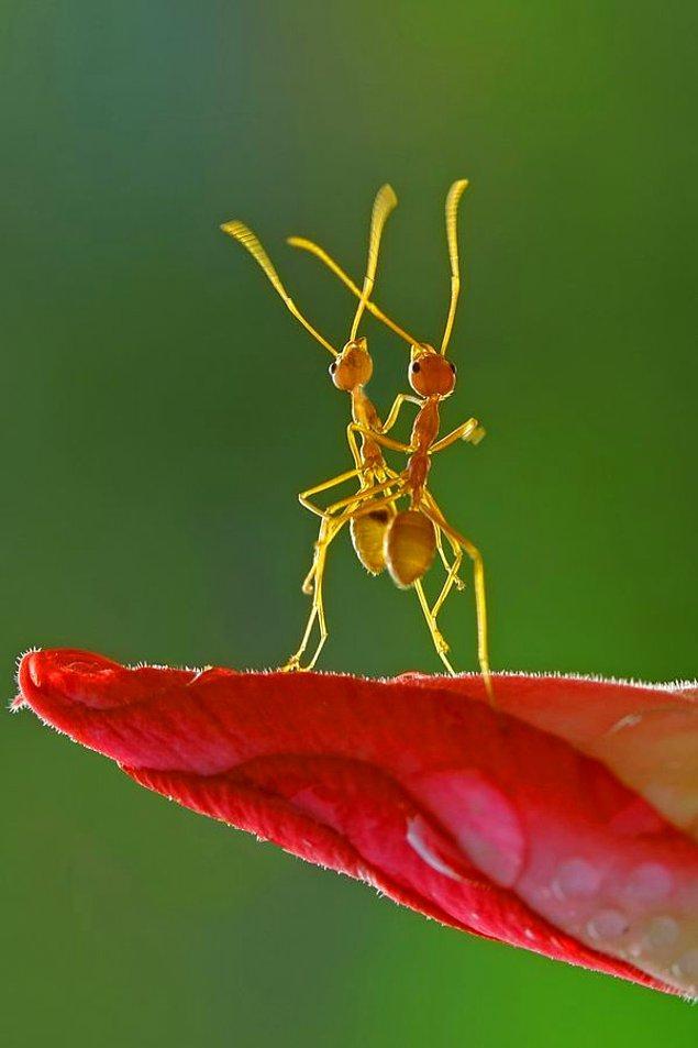 10. Tango Yapan Karıncalar