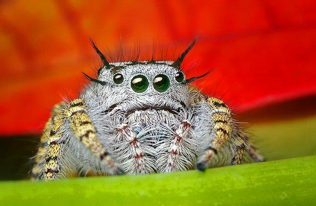 24. Bu Kibar Görünümlü Örümcek
