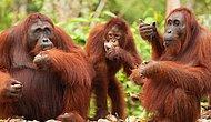 18 Gifs Proving Orangutans Are Animals Full Of Love