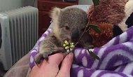 Самый милый из всех, что мы видели, детеныш – коала Джои
