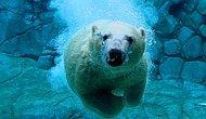 Попытка белого медведя сломать стекло аквариума