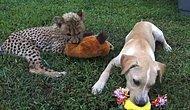 Настоящая дружба щенка и детеныша гепарда