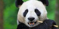 18 Gifs Showing that Why Actually Pandas are Facing the Danger of Extinction