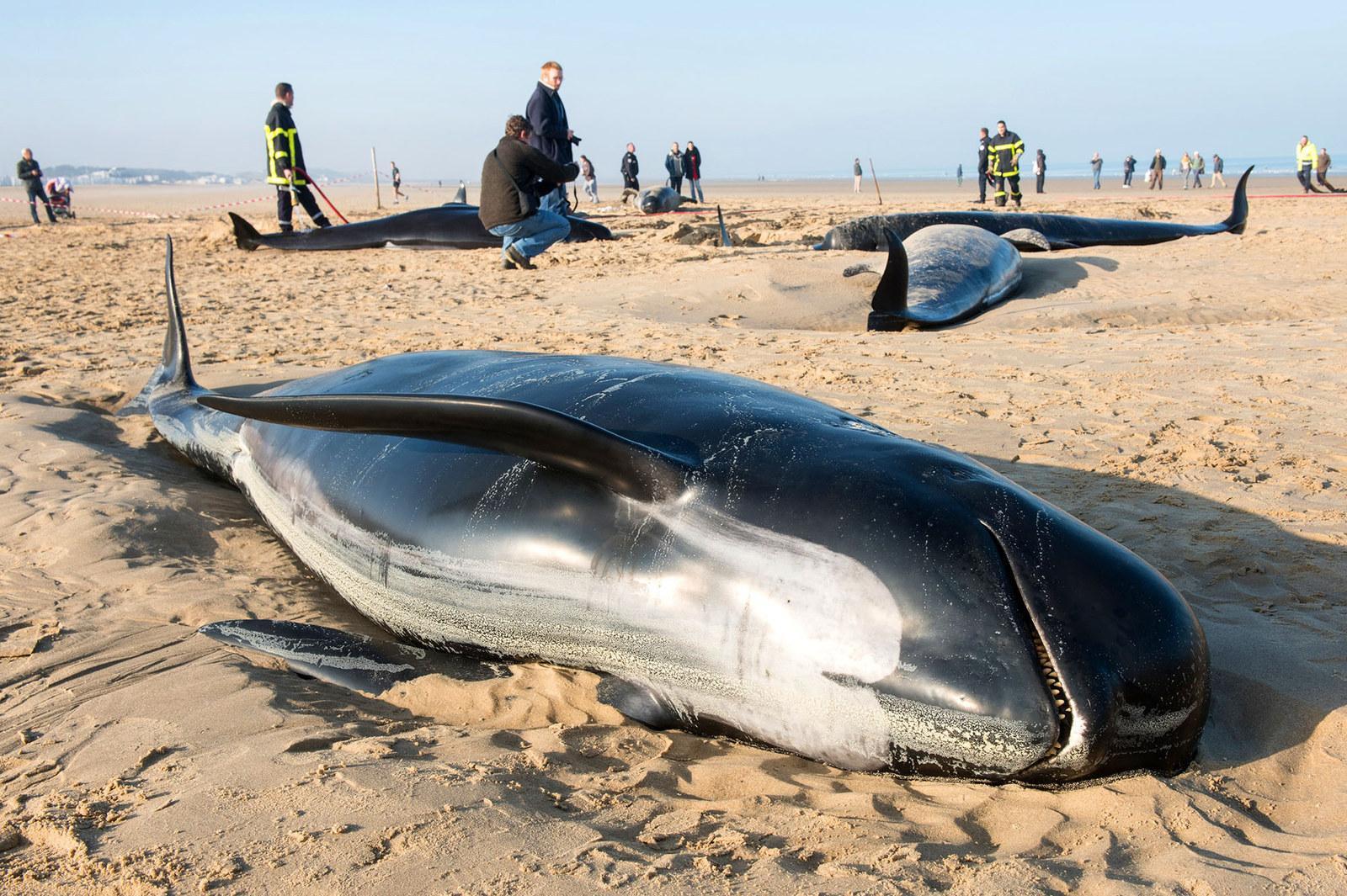 фото кита выбросившегося на берег чудовищные потери частые