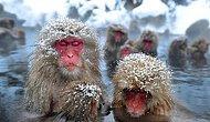 Японские макаки просто обожают зиму