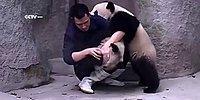 """Милые панды борются за свое """"право не принимать лекарства"""" :)"""