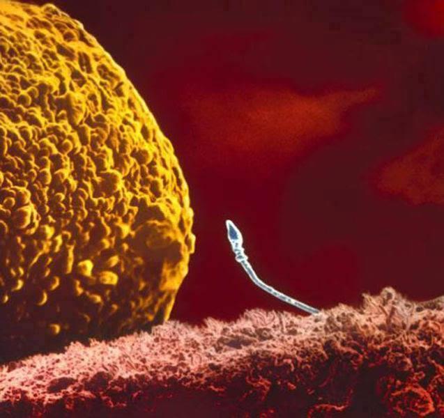 dvizhenie-spermatozoidov-pod-mikroskopom