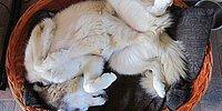 Самые интересные позы спящих собак породы хаски