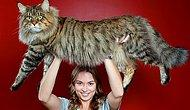 16 фотографий кошек породы Мейн-кун