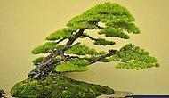 21 дерево бонсай необычайной красоты
