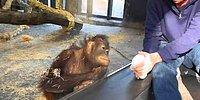 Как фокус заставил орангутанга кататься от смеха по полу