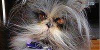 Самый волосатый феномен в Инстаграм – кот Atchoum