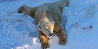 Белые медведи радуются снегу