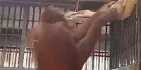 Ничто человеческое им не чуждо: орангутанг делает себе гамак