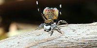 Паук-самец исполняет брачный танец для самки