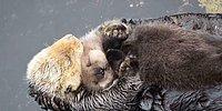 Малыш выдры спит у мамы на животе