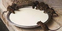 В какой стране мира поклоняются крысам?