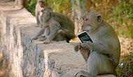 Почему обезьяны воруют у туристов?