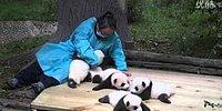 Работа мечты: обниматься с пандами и зарабатывать 32 тысячи долларов